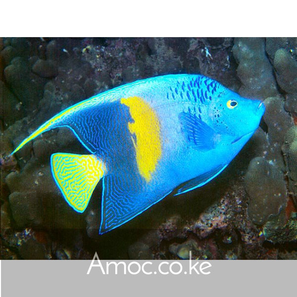 Blue moon angel maculosus angelfish pomacanthus for Fish compatible with angelfish